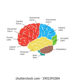 Human Brain Anatomy Infographic Card Poster System Concept of Diagnostics and Health Care Flat Design Style on Side. illustration of Head