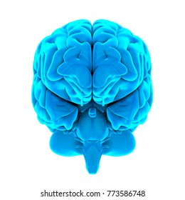 Human Brain Anatomy Isolated (front view). 3D rendering