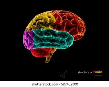 Human brain, anatomy structure. Human brain anatomy 3d illustration.