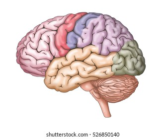 human brain occipital diagram images, stock photos \u0026 vectors