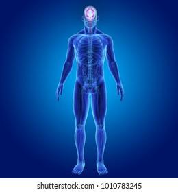 Human brain anterior view 3d illustration