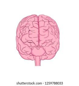 Human brain back view