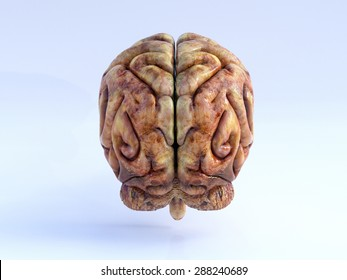 The Human Brain. Back View. Physical 3D Render.