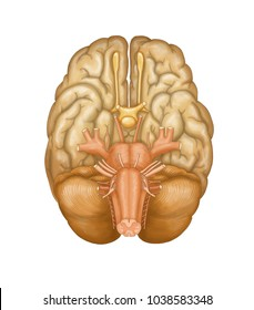 Human brain - cranial nerves