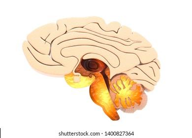 Human brain cross section.3d render
