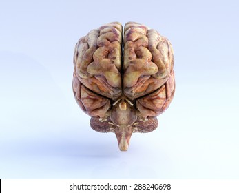 The Human Brain. Front View. Physical 3D Render.