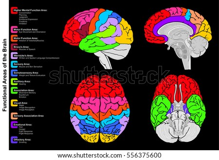 human brain functional infographic including all stock illustrationhuman brain functional infographic including all areas and its functions structure diagram lobes lateral sagittal superior