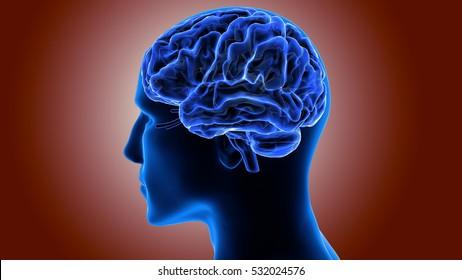 Human Brain Inside Anatomy. 3D
