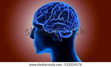 Human Brain Inside Anatomy 3 D Stock Illustration - Royalty Free ...