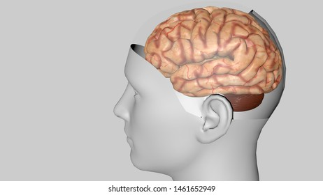Human brain isolated on a colored background. Anatomical 3D model of human brain for medical students. 3D rendered model