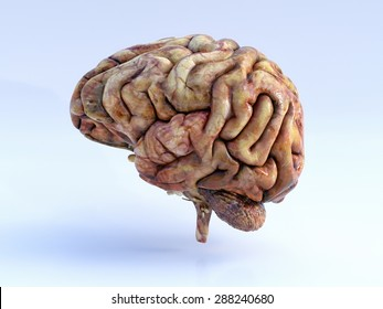 The Human Brain. Left View. Physical 3D Render.