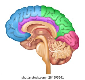 Human brain lobes, beautiful colorful illustration detailed anatomy. Sagittal view of the brain. Isolated on a white background.