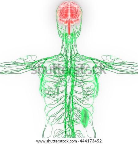 Human Brain Nerves Lymph Nodes Anatomy Stock Illustration 444173452