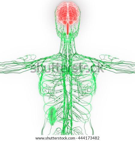 Human Brain Nerves Lymph Nodes Anatomy Stock Illustration 444173482