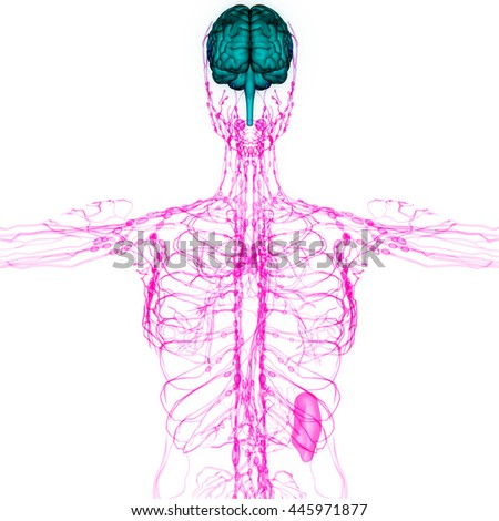 Human Brain Nerves Lymph Nodes Anatomy Stock Illustration 445971877