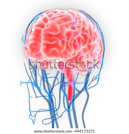 Human brain nerves veins arteries anatomy stock illustration human brain nerves veins arteries anatomy stock illustration 444173371 shutterstock ccuart Choice Image