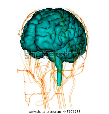 Human Brain Nerves Veins Arteries Anatomy Stock Illustration ...