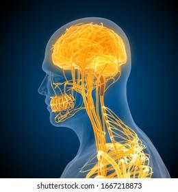 human brain nervous system 3d illustration