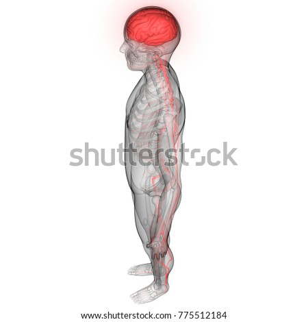 Human Brain Nervous System Anatomy 3 D Stock Illustration 775512184 ...