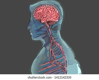 Human brain and nervous system in bright red inside blue xray body. 3d illustration.