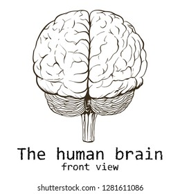 Human brain painted on a white background