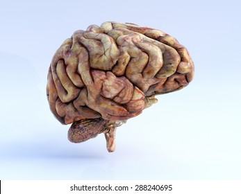The Human Brain. Right View. Physical 3D Render.