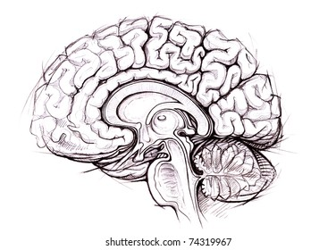 human brain sagittal view medical sketchy illustration