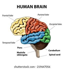 human brain sections