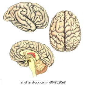 Human brain side view, view from above and viewed through a mid-line incision showing the white matter of the corpus callosum, hand drawn medical illustration,  pencils drawing, lithography imitation
