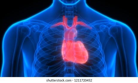Human Cardiovascular System Heart Anatomy. 3D