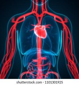 Circuito Circulatorio : Imágenes fotos de stock y vectores sobre sistema circulatorio