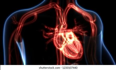 Human Circulatory System Anatomy. 3D