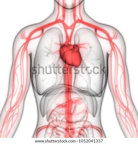 Human Circulatory System Anatomy 3 D Stock Illustration 1052041337