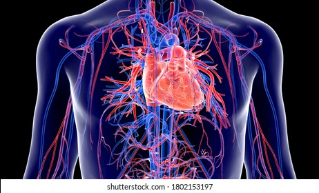 Human Circulatory System and Cardiovascular System are the heart, blood and blood vessels. It includes the pulmonary circulation.Arteries carry blood away from the heart and veins carry blood.3D