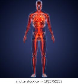Human Circulatory System Heart Anatomy. 3D