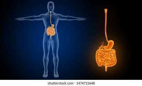 Human Digestive System 3D Rendering