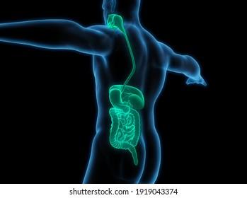 Human Digestive System Anatomy. 3D illustration
