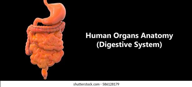 Human Digestive system Anatomy. 3D