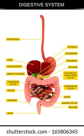 Human Digestive System's Chart. Isolated on white background.