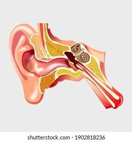 Human ear, internal ear, external ear anatomy.