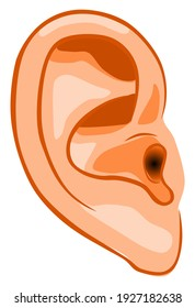 Human ear, organ of hearing and equilibrium that detects and analyzes sound by transduction and maintains the sense of balance