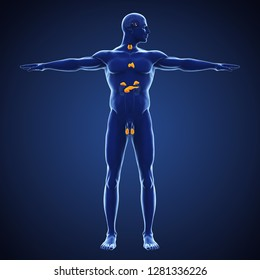 Human Endocrine System Illustration. 3D rendering