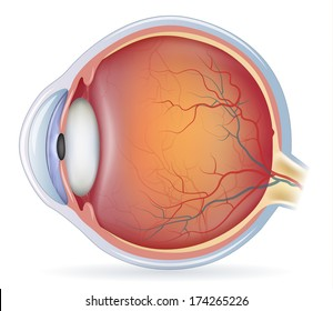 Human eye anatomy, detailed illustration. Isolated on a white background.