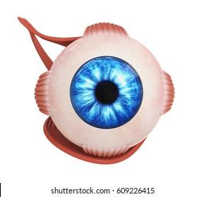 Human Eye Extraocular Muscles. 3D rendering