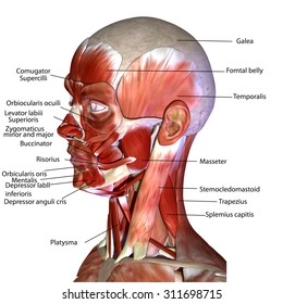 human face muscles