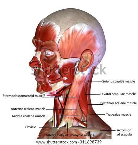 Human Face Muscles Stock Illustration 311698739 - Shutterstock