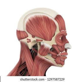 Human Facial Muscles Anatomy (side view). 3D rendering