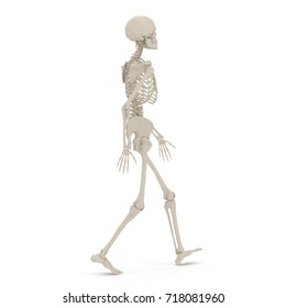 Human Female Skeleton walking pose on white. 3D illustration