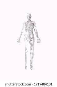 Human figure half bone half bone muscle