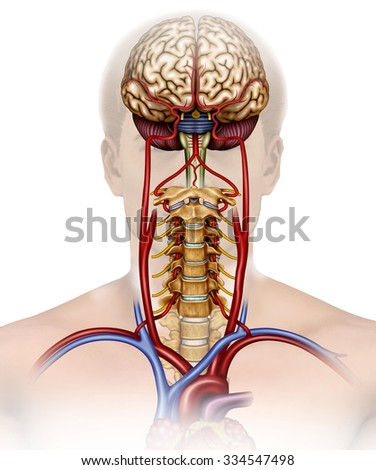 human figure with more color background brain, cervical and major arteries.